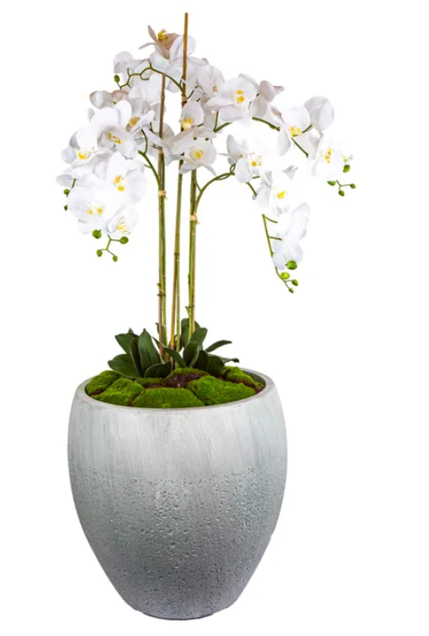 Orchid Lucy 145cm