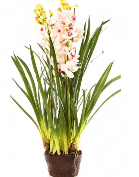 Plant Cymbidium Light Pink 110cm