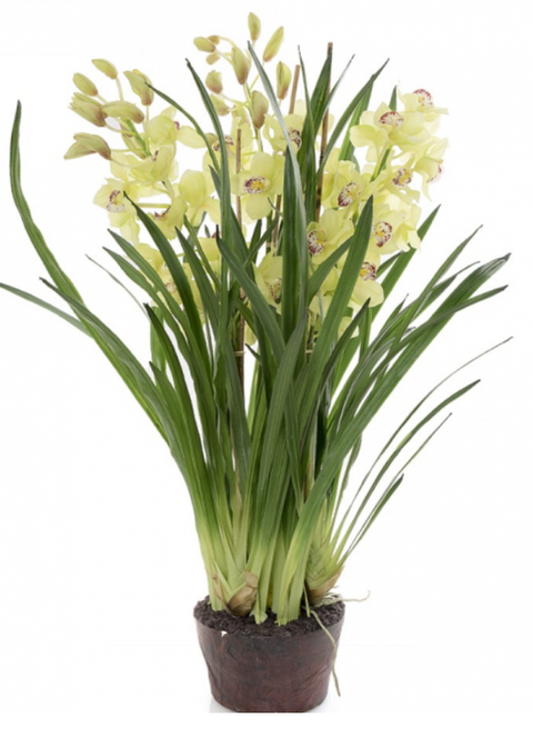 Plant Cymbidium Light Green 110cm PRE-ORDER