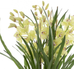 Plant Cymbidium Light Green 110cm