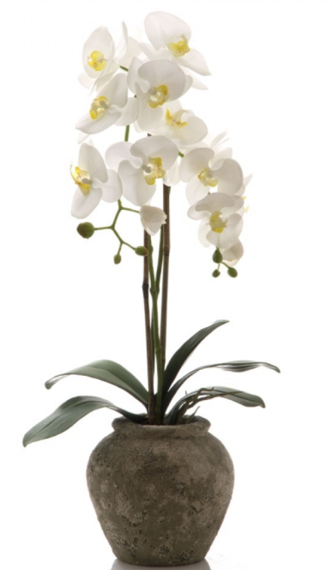 White Orchid Ancient 75cm