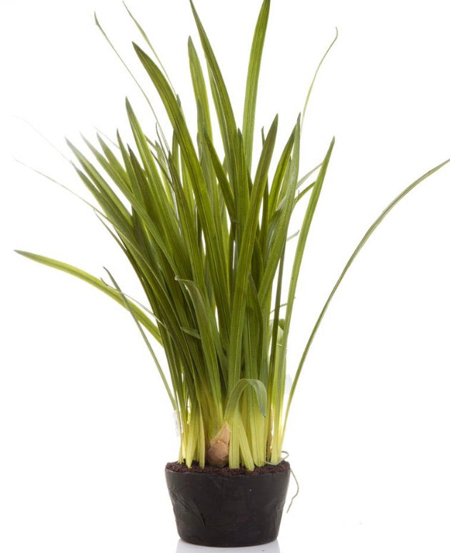 Plant Cymbidium Leaves 100cm