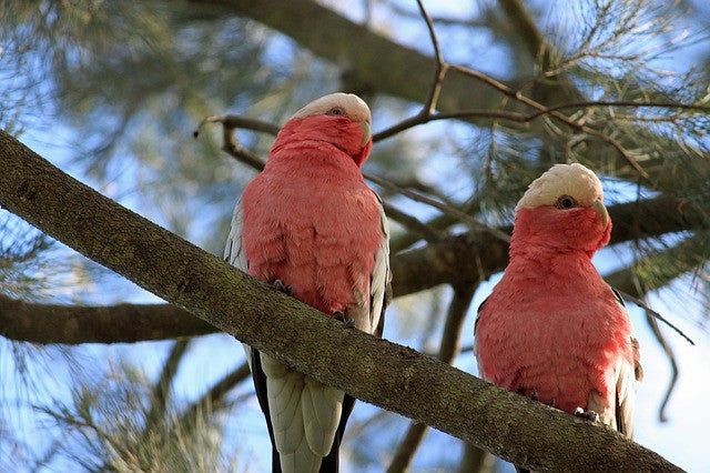 James Dodson ~ Galah - Aspect Design Tasmanian Gifts Gallery