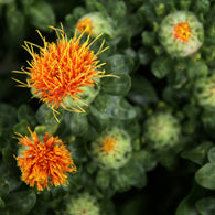 Aceite de Cartamo Safflower