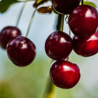 Fragancia de Black Cherry