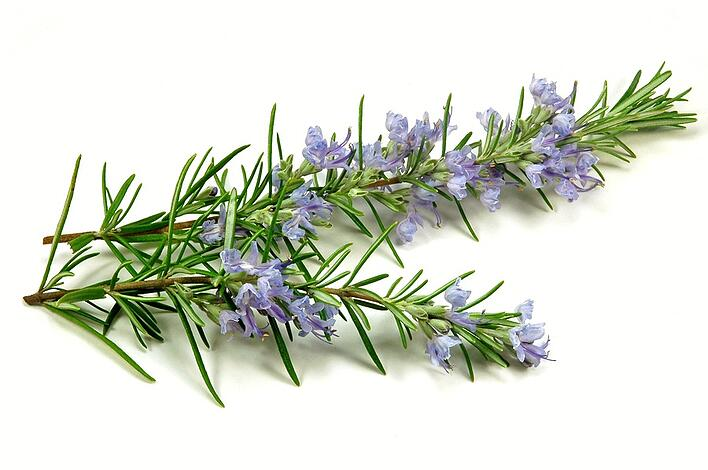 An ultimate guide to growing, pruning and maintaining rosemary in the garden