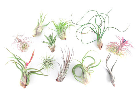 Air Plant Party Pack