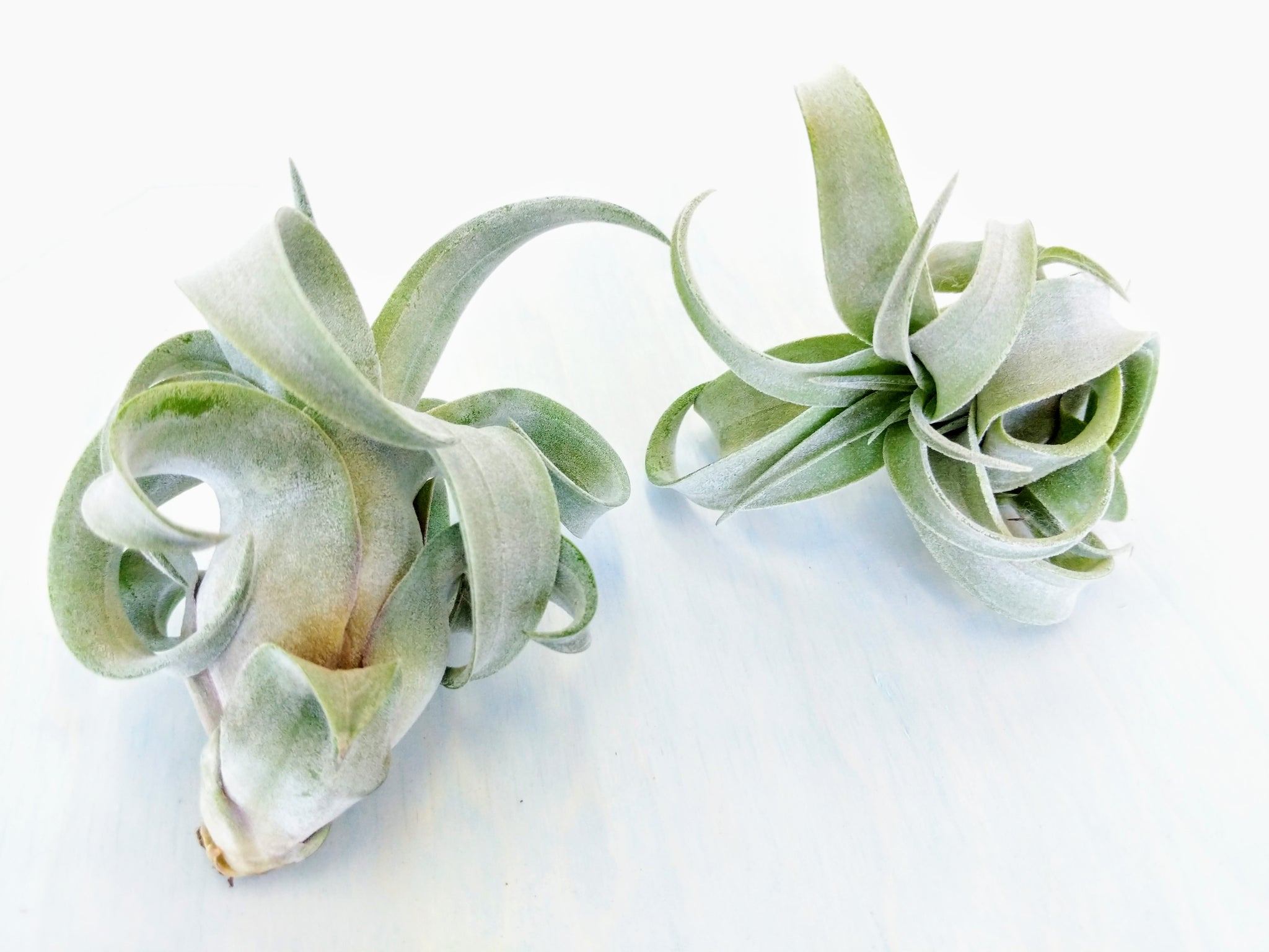 Tillandsia Streptophylla (King Size Air Plants) - By Succuterra | Succulents, Air Plants & Terrariums