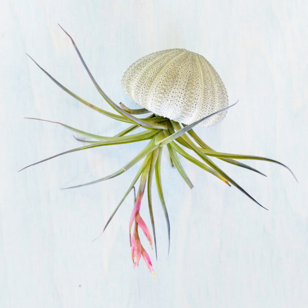 Air Plant Jellyfish (Sea Urchin Shell) - By Succuterra | Succulents, Air Plants & Terrariums
