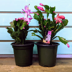 Christmas Cactus - By Succuterra | Succulents, Air Plants & Terrariums