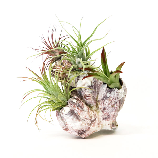 Barnacle Shell - By Plant Collective | Indoor House Plants, Succulents, Air Plants & Terrariums - Toronto Canada
