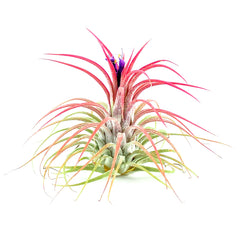 Blooming Ionantha - By Succuterra | Succulents, Air Plants & Terrariums