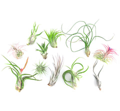 Air Plant Party Pack (Small) - By Plant Collective | Indoor House Plants, Succulents, Air Plants & Terrariums - Toronto Canada