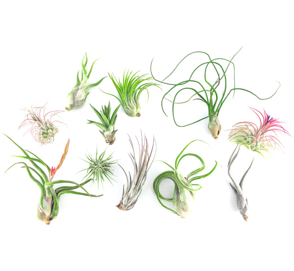 Air Plant Party Pack (Assorted Sizes) - By Succuterra | Succulents, Air Plants & Terrariums