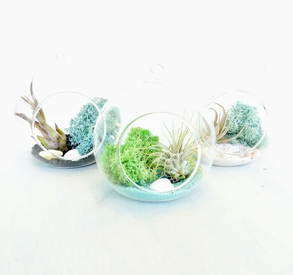 DIY Air Plant Terrarium Kit - Hanging Globe - By Succuterra | Succulents, Air Plants & Terrariums