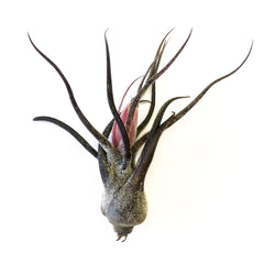 Tillandsia Pruinosa - By Succuterra | Succulents, Air Plants & Terrariums