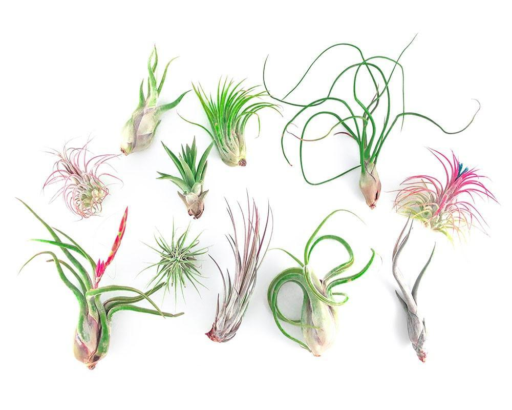 25 Air Plant Wedding Favors - By Plant Collective | Indoor House Plants, Succulents, Air Plants & Terrariums - Toronto Canada