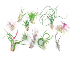 25 Air Plant Wedding Favors - By Succuterra | Succulents, Air Plants & Terrariums