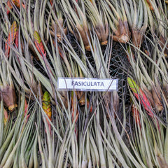 Air Plants - Fasiculata (Hybrid)