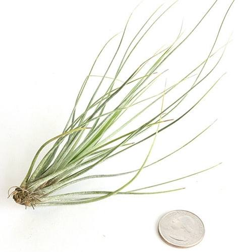 Tillandsia Juncea - By Plant Collective | Indoor House Plants, Succulents, Air Plants & Terrariums - Toronto Canada