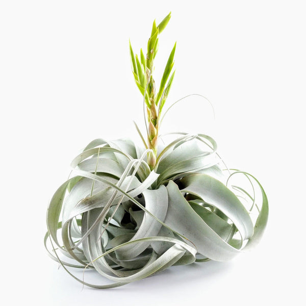 Xerographica (King Size Air Plants) - By Succuterra | Succulents, Air Plants & Terrariums