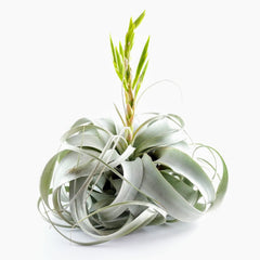 Air Plants - Xerographica (King Size Air Plants)