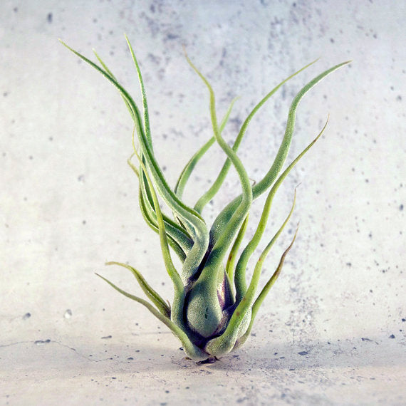 Tillandsia Caput Medusae Air Plant (Medusa) - By Succuterra | Succulents, Air Plants & Terrariums