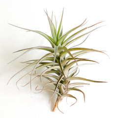 Tillandsia Bergeri - By Plant Collective | Indoor House Plants, Succulents, Air Plants & Terrariums - Toronto Canada