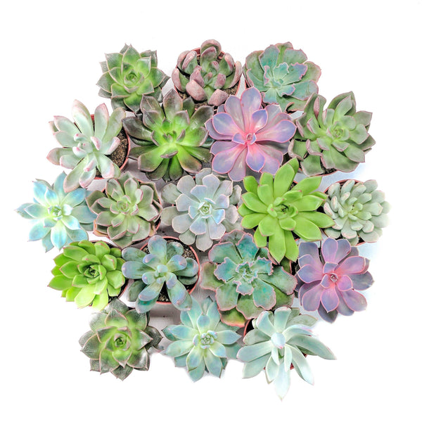 'Echeveria Essentials' Bundle - 6 pack - By Plant Collective | Indoor House Plants, Succulents, Air Plants & Terrariums - Toronto Canada