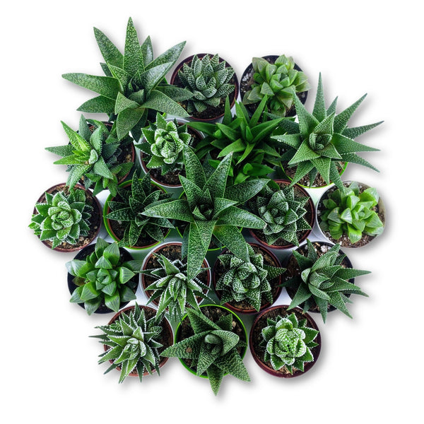 Happy Haworthia Bundle - 6 pack - By Succuterra | Succulents, Air Plants & Terrariums