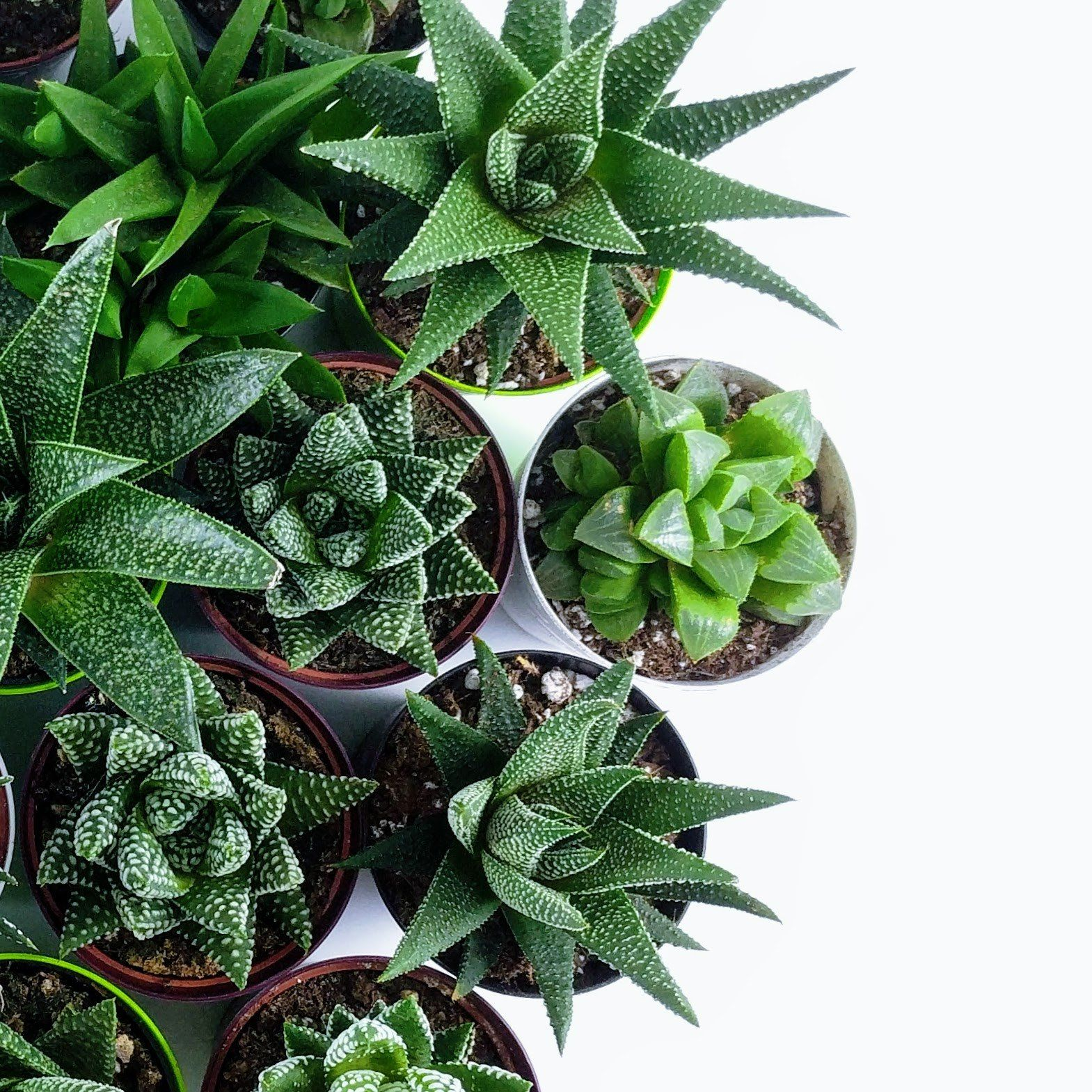 Happy Haworthia Bundle - 6 pack - By Plant Collective | Indoor House Plants, Succulents, Air Plants & Terrariums - Toronto Canada