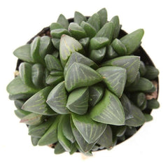 Haworthia Retusa - By Succuterra | Succulents, Air Plants & Terrariums