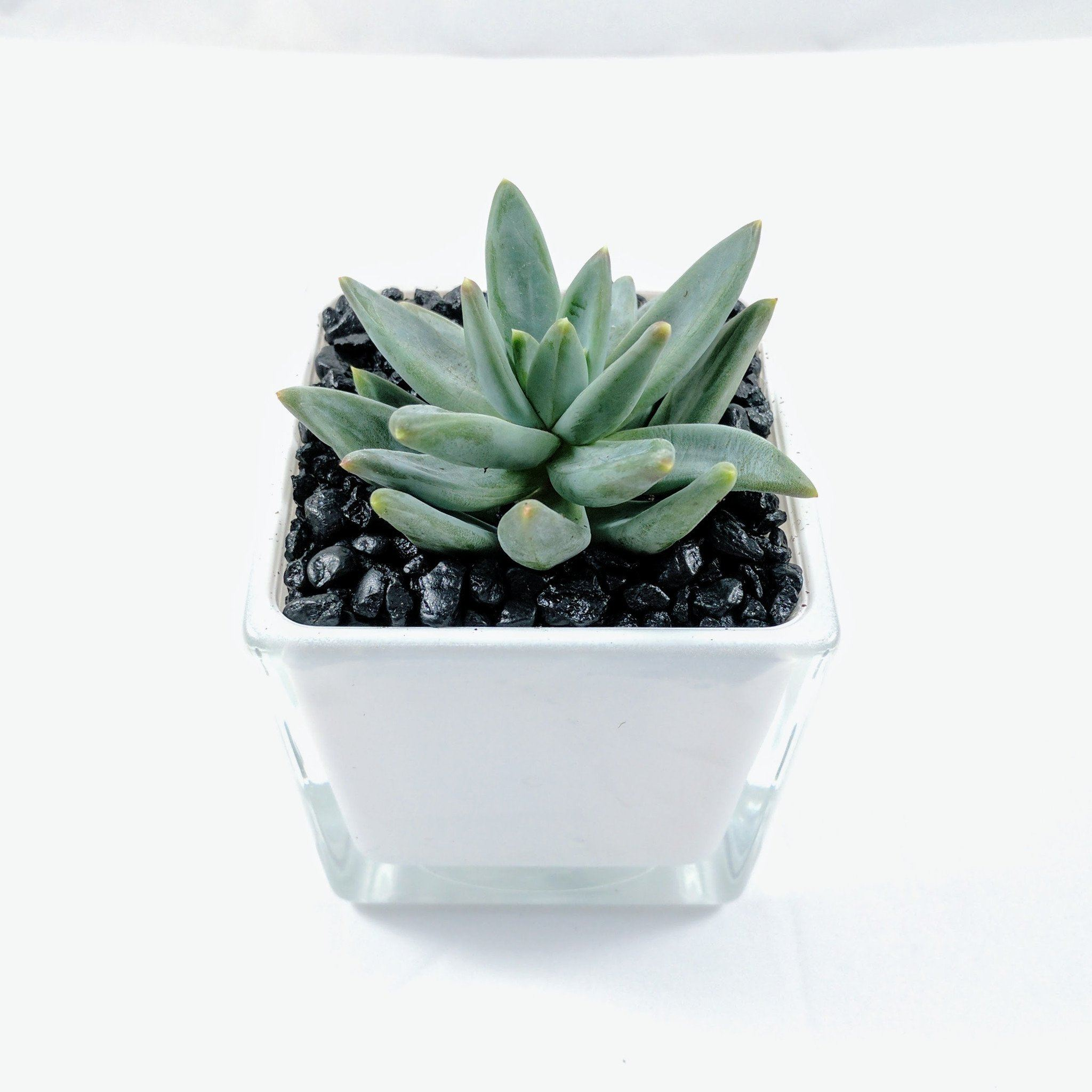 'Little Jewel' (Pachyveria Glauca) - By Succuterra | Succulents, Air Plants & Terrariums