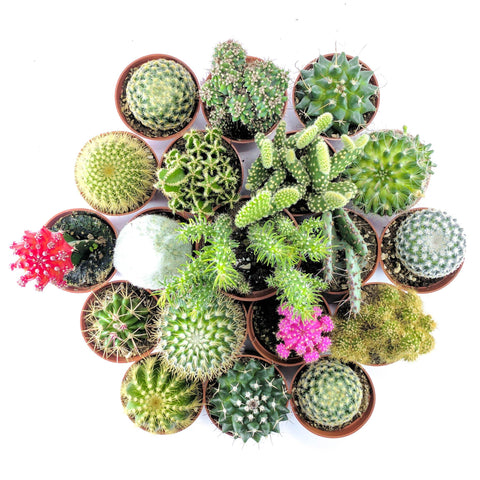 "The ""Crazy Cactus"" Bundle - 6 pack - By Plant Collective 