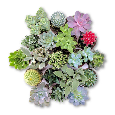 The 'Everything' Bundle - 6 pack - By Succuterra | Succulents, Air Plants & Terrariums