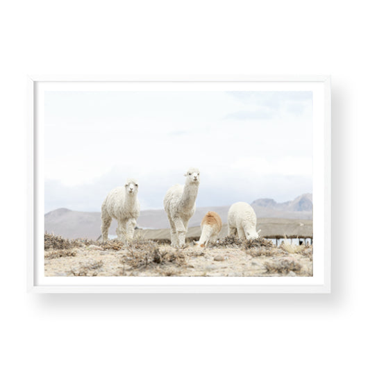 LLAMAS IN THE WILD II