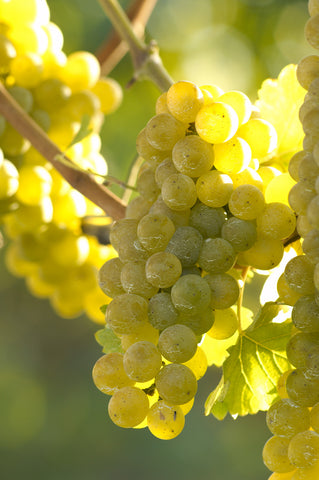 Sauv blanc grapes