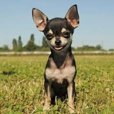 5 Reasons Chihuahuas Are The Best Dog