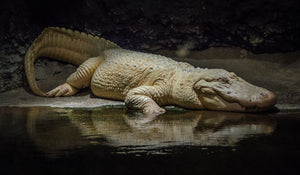 Digital Download Albino Alligator LIC