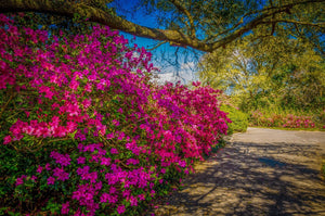 Digital Download Bellingrath Azaleas LIC