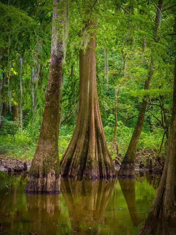 Paper Print Cypress Reflections