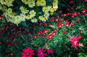 Paper Print Daisies Red and Yellow