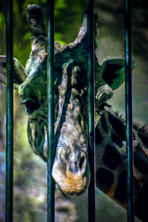 Paper Print Giraffe Peeking Through the Bars JaiGieEse PhotoArt