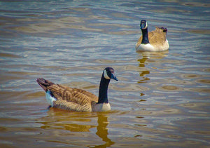 Digital Download Two Geese LIC
