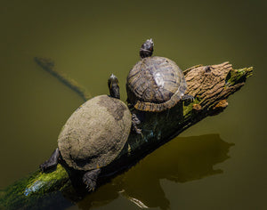Digital Download Two Turtles in the Sun LIC