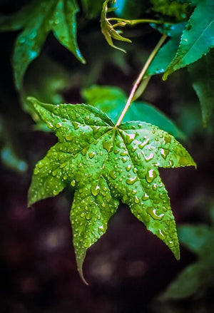 Digital Download Wet Leaf LIC JaiGieEse PhotoArt