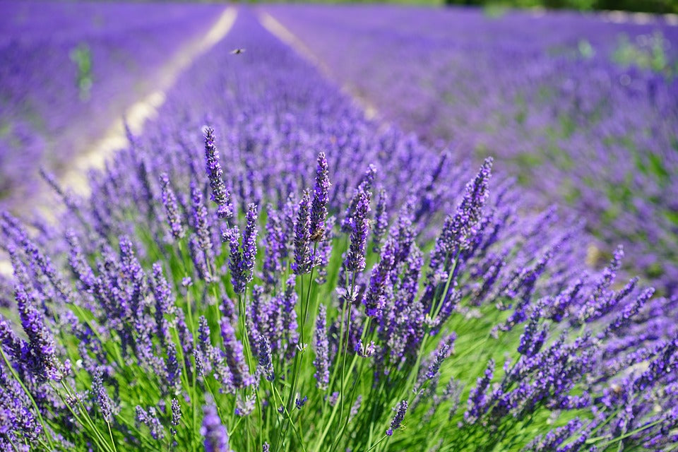 Love of Lavender
