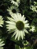 ECHINACEA 'WHITE VIRGIN'