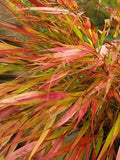 JAPANESE FOREST GRASS 'SUNFLARE'