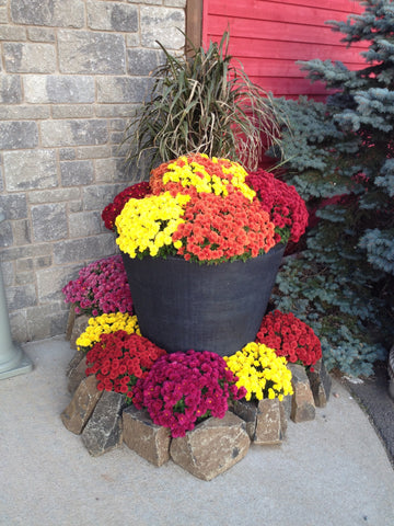 mixed planter with fall mums